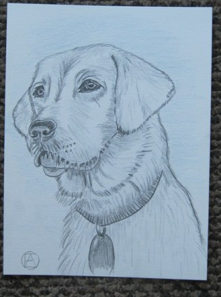 labrador pencil sketches (10)