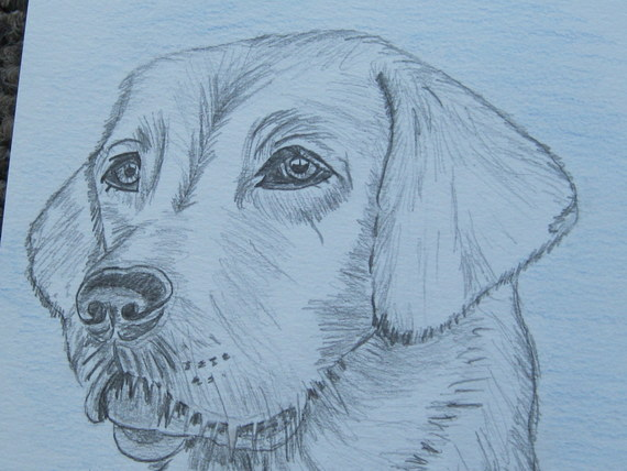 labrador pencil sketches (11)