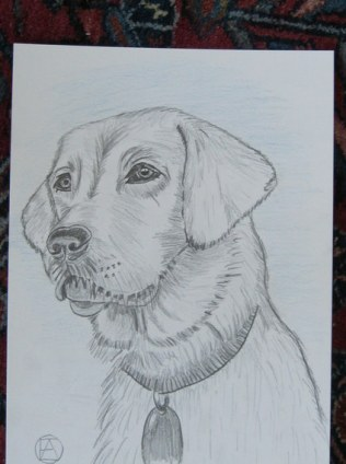 labrador pencil sketches (12)