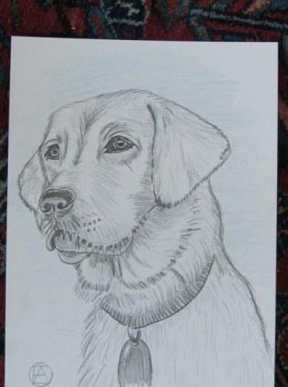 labrador pencil sketches (12)