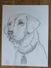 labrador pencil sketches (13)