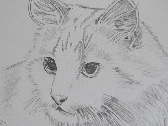 pencil sketch  white cat (1)
