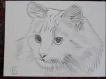 pencil sketch white cat (5)